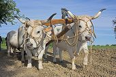 picture of yoke  - bullocks with yoke to pull the plow  - JPG