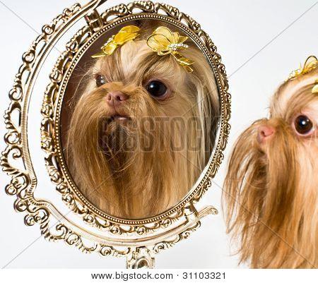 Bolonka Zwetna And A Mirror