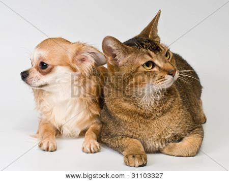 Cat And Chihuahua In Studio