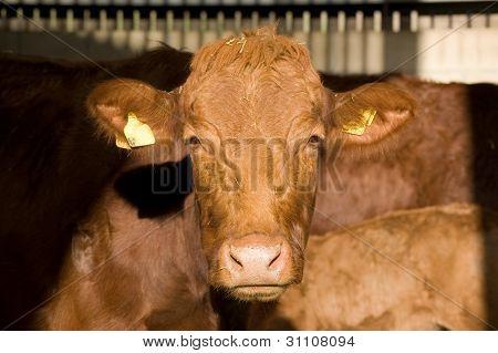 Stabiliser cow gazing at viewer