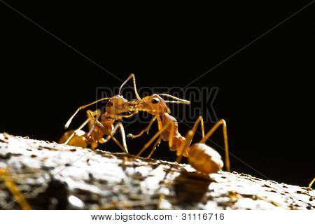 Red Weaver Ants