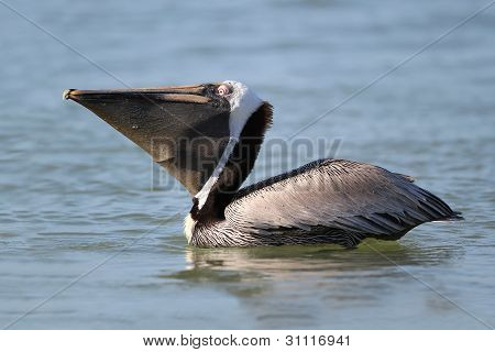 Brown Pelican with Puch Extended - Fort Myers Beach, Florida