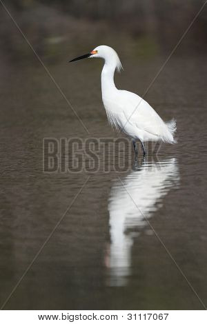 Snowy Egret in Breeding Plumage Wading in a Shallow Pond - Florida