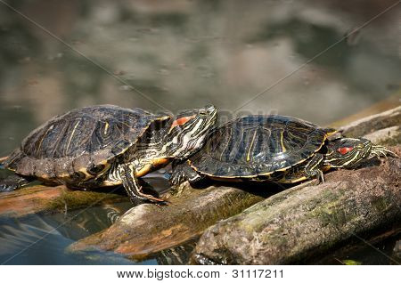 two beautiful turtles sun themselves on tree