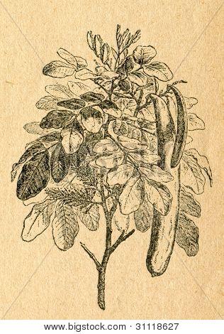 Carob tree twig with flowers and pods - old illustration by unknown artist from Botanika Szkolna na Klasy Nizsze, author Jozef Rostafinski, published by W.L. Anczyc, Krakow and Warsaw, 1911