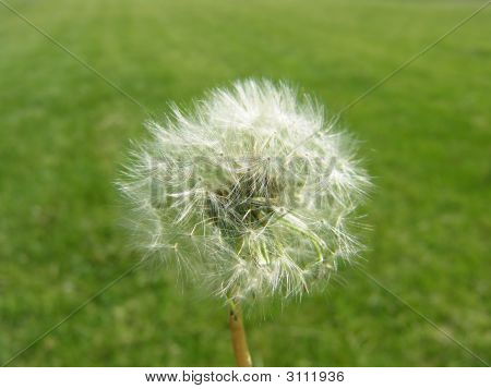 Dandelion Seeds Green Grass Field Background … Wishes