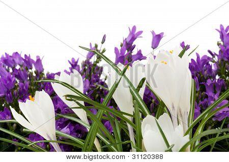 White Crocus With Purple Campanula