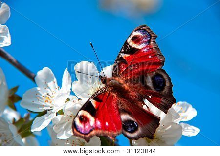 The Butterfly , Apple-tree Flower