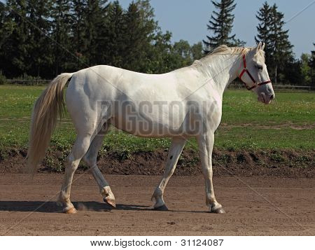 White  Horse Walking in road