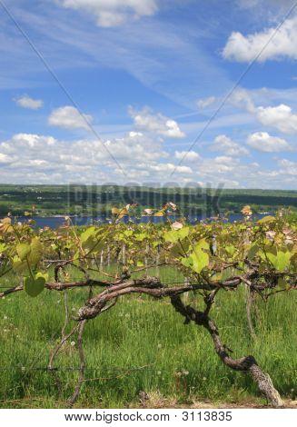 Vinyard, Wine Making