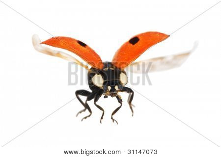 flying ladybug isolated on white background