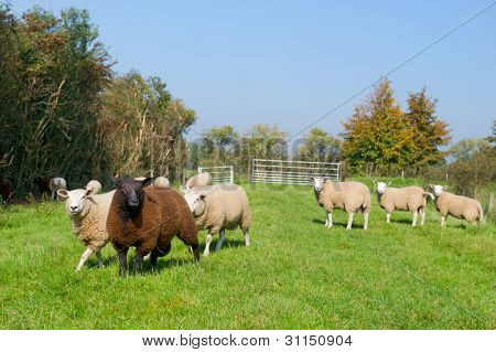 White sheep with one different color