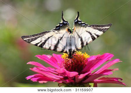 Butterfly scarce Swallowtail