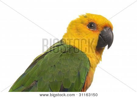 Curious Jenday Conure parrot on a white background.