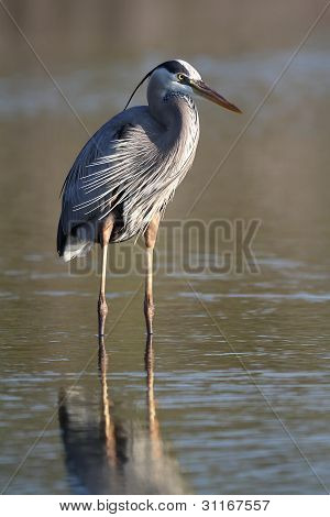 Great Blue Heron Wading in a Shallow Pond - Florida