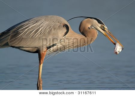 Great Blue Heron Eating a Fish - Fort Myers Beach, Florida