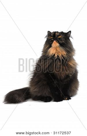 Persian tortie cat on white background