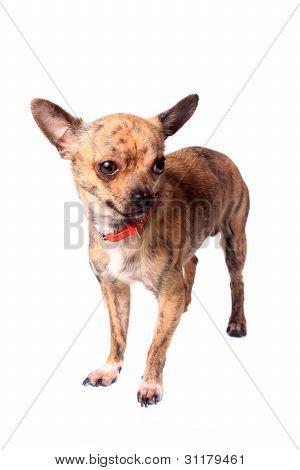 Chihuahua atigrado