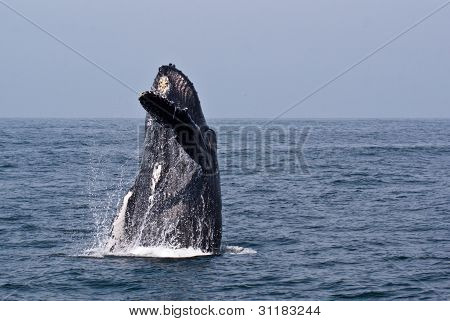 Hello Humpback Whale Style