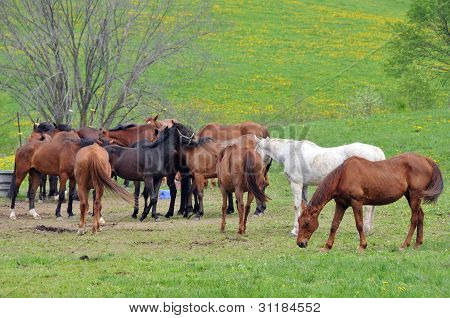 herd of horses in pasture in summer time,
