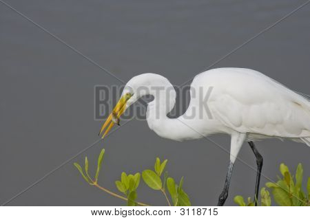 Great Egret With A Fresh Caught Fish