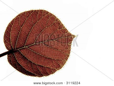 Transparent Leaf Of A Kiwi