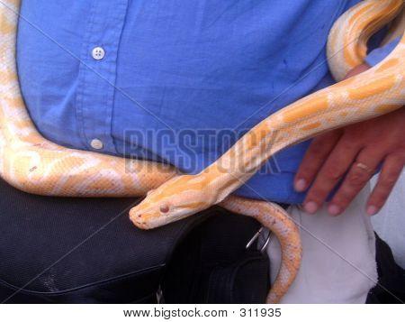 Sleepy Yellow Snake