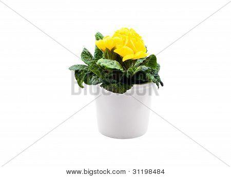 Yellow Primula In White Pot