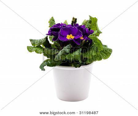 Violet Primula In White Pot