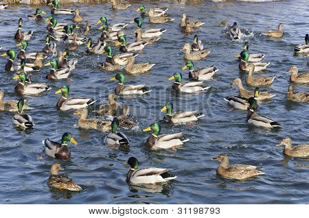 Flock Of Mallard Ducks And Drakes Swimming In The Lake