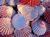 stock photo of scallop shell  - a collection of stunning pink and golden scallop shells