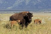 image of caw  - Bison cow with two babies in Grand Teton National Park - JPG