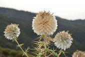 Wild White Fuzzy Flowers On The Mountain poster