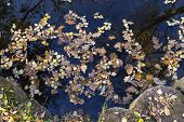 Background Formed By Fallen Bright Autumn Leaves On The Dark Surface Of The Pond. poster
