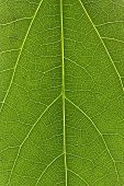 Green Leaf Texture Or Leaf Background. Close Up Green Leaf. poster