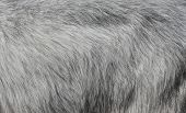 Gray Goat Fur Background. Light Gray Fur Texture Close Up poster