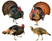 stock photo of wild turkey  - several Turkey Tom strutting their stuff isolated on a white background - JPG