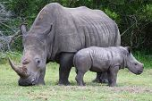stock photo of herbivorous  - Cute baby White Rhino standing next to it - JPG