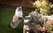 Pedigree Ragdoll Cat Looking Over A Stone Wall poster