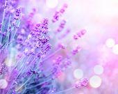 Lavender flower field, Blooming Violet fragrant lavender flowers. Growing Lavender swaying on wind o poster