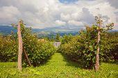Landscape Of Raspberries Fields, Village Lifestyle In Serbia During Summer. poster