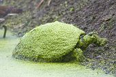 foto of cooter  - A Common Cooter Covered With Duck Weed rests on the bank - JPG