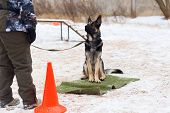 German Shepherd Sitting Obediently In The Winter At The Training poster