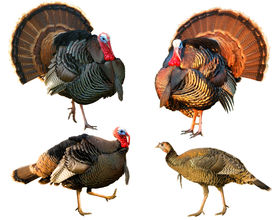 picture of wild turkey  - several Turkey Tom strutting their stuff isolated on a white background - JPG