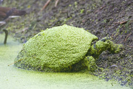 pic of cooter  - A Common Cooter Covered With Duck Weed rests on the bank - JPG