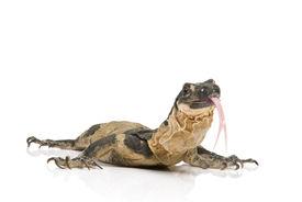 foto of goanna  - Bells Phase Lace Monitor flicking its tongue on white background - JPG