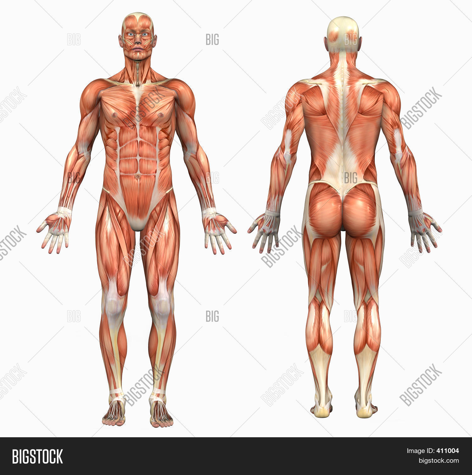 male muscle anatomy gallery - learn human anatomy image, Muscles