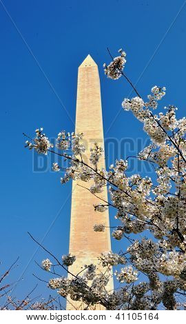 Washington Monument and  blossoming tree.