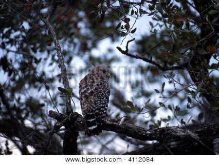 Short-Tail Hawk