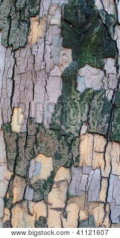 The Bark Of A Sycamore Tree